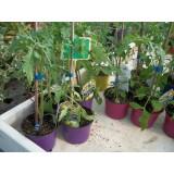 Planta de Pimiento Jalapeño en Maceta de 11 Cm