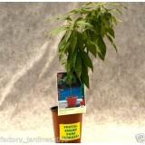Planta de Frutal Melocotonero Enano, Ideal para Jardinera,maceta,terraza.