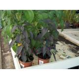 Planta Pimineto Guidilla Negra m.13
