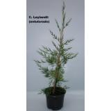 Cupressocyparis Leylandii en M15 (Entutorado)