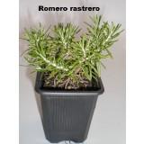 Romero Rastrero (Rosmarinus Officinalis Rapens)