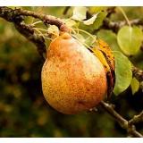 Frutal Peral Variedad Passa Crassana. Planta en Maceta