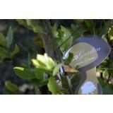 Alcornoque (Quercus Suber) Micorrizado, Productor de Madera y Boletus (Boletus Edulis) (0,3-0,5 M). 45 Unidades