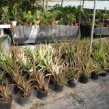 Aloe Vera en Maceta de 25 Centímetros