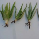 Aloe Vera , Planton 10 Cm.