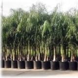 Arecastrum/cocotera Maceta 35 Centímetros-2, 50 a 2, 75 Tronco de 1,00 Mts