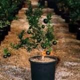 Citrico Ornamental/citrus Aurantium/bouquet de Fleurs en Maceta de 25 Cn