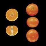 Clementina Nova-Clemenvilla en Maceta de 25 Centímetros