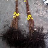 Fardo 10 Plantas Frutal de Kaqui Sharon en Raiz Desnuda Calibre 1ª