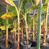 Frutal Tropical Platanera de Canarias en Maceta de 30 Cn