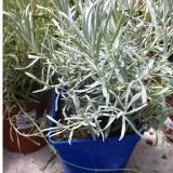 Lavandula Angustifolia C19. Planta de Lavanda de 20-25 Cm.