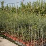 Olivo Hojiblanca en Maceta de 20 Cm