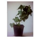 Planta de Grosella Roja,  Ribes Rubrum. Envase