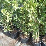 Planta de Laurel en Maceta de 11 Cm