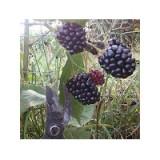 Planta de Mora Rubus Fruticosus Var. Navajo. Raiz Desnuda