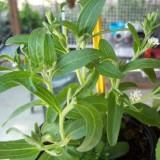 Planta de Stevia Rebaudiana en Maceta de 14 Cen