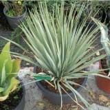 Planta de YUCCA Rostrata en Maceta de 30 Cn