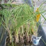 Plantas de Cebolla Verdeo en Bandeja de 12 Unidades