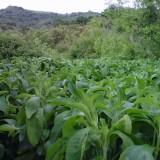 Plantas Vivas de Stevia 10 Uds.
