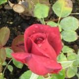 Rosal Oloroso,arbustivo,grandoflora-Papa Meilland en Maceta de 19 Cen