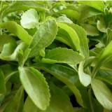 Stevia Rebaudiana Bertoni en Plantón 20 Unidades  Disponible en Primavera