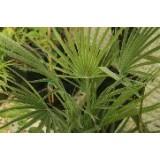 Semillas Chamaerops Humilis 3 Gr