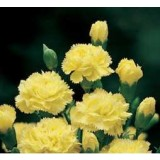 Clavel Mediterraeo de Color Amarillo en Maceta de 14 Cm