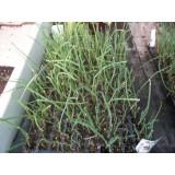 Bandeja 12 Alveolos Plantas Cebolla Blanca Purita