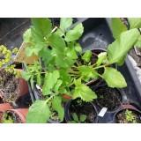 Bandeja  6 Plantas Broculi Morado