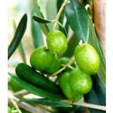 Planta de Olivo. Variedad Frantoio. Resistencia al Verticillium. Altura 150 Cm.