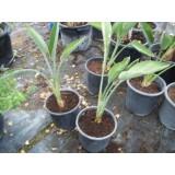 Planta Tropical de Strelitzia Regina 1 en Maceta de 22 Cen