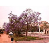 Semillas de Jacaranda Mimosifolia