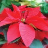 Poinsetia, Flor de Navidad,maceta de 14 Cm y Altura de la Planta de  35-40 Cm