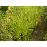 Cyperus Papirus C-20