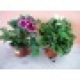 Geranio Grandiflora en Maceta de 14 Cm