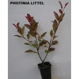 "Photinia  Little ""red Robin"""