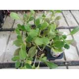 Bandeja 12 Plantas Lechugas Asiaticas Mezcladas