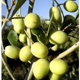 Planta de Olivo. Variedad Arbosana. Altura 100 Cm Aproximado.