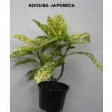 Aucuba Japonica (Laurel Moteado)
