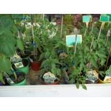 Planta Tomate San Manzano en Maceta de 10 Cm