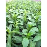 Planta de Stevia 1000 Uds.