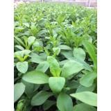 Planta de Stevia Viva 100 Uds.