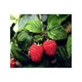 Planta de Frambuesa Rubus Idaeus Var. Polka. Raíz Desnuda