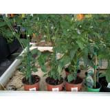 Planta Pimiento Guindilla  Ornamental m.13