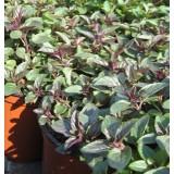 Planta de Menta Sabor Manzana en Maceta de 14 Cm
