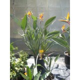 Planta Tropical de Sterlitzia Regina 3 en Maceta de 25 Cm