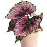 Planta Begonia Reina-Rex en Maceta de 17 Cm