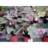 Planta Berenjena Enana Pot Black m.13