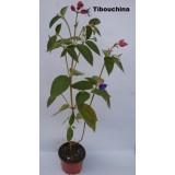 Tibouchina Urvilleana O Planta de la Gloria.