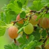 Uva Espina, Ribes Uva Crispa M17 (Fruto Blanco)